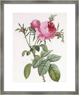 Rosa Centifolia Foliacea Framed Print by Pierre Joseph Redoute