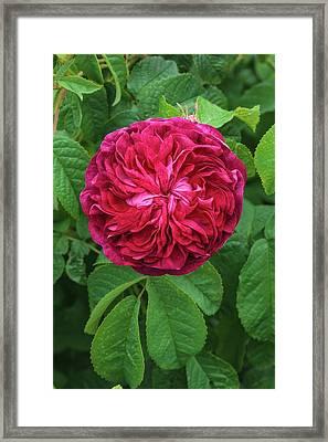 Rosa Charles De Mills Framed Print by Geoff Kidd