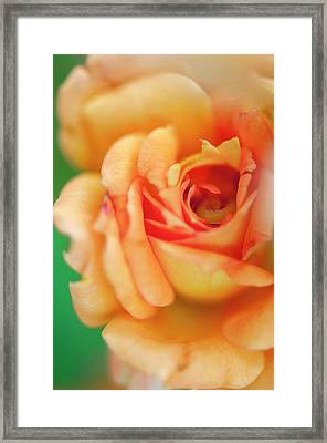 Rosa 'easy Does It' Flower Framed Print by Maria Mosolova