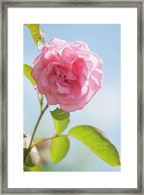 Rosa 'eliza' Flower Framed Print by Maria Mosolova