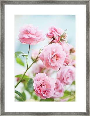 Rosa 'eliza' Flowers Framed Print by Maria Mosolova