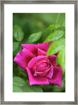 Rosa 'fields Of The Woods' Flower Framed Print by Maria Mosolova