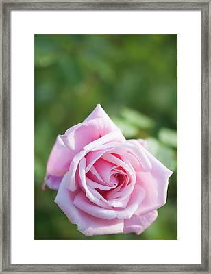 Rosa 'frederic Mistral' Flower Framed Print by Maria Mosolova