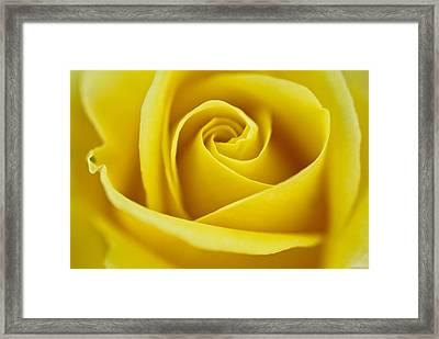 Rosa 'freedom' Framed Print
