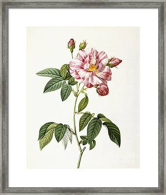 Rosa Gallica Versicolor Framed Print by Pierre Joseph Redoute