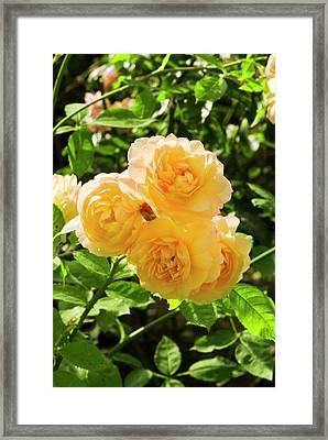 Rosa 'grace' Framed Print by Adrian Thomas