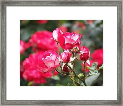 Rosa Molly Mcgredy Framed Print