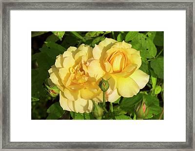 Rosa 'pegasus' Framed Print