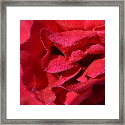 Rosa Red 1.1 Framed Print by Cheryl Miller