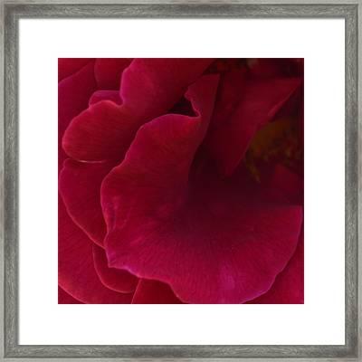 Rosa Red 1.2 Framed Print by Cheryl Miller