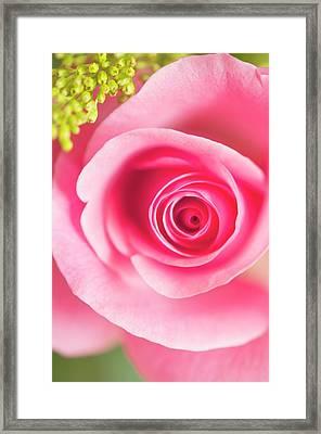 Rosa Sp. Flower Framed Print by Maria Mosolova