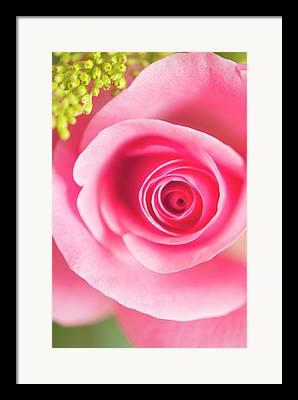 Rosa Sp Framed Prints