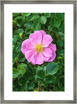 Rosa 'summer Sunrise' Framed Print