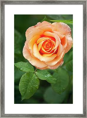 Rosa 'tahitian Sunset' Flower Framed Print by Maria Mosolova