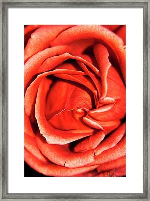 Rosa 'terracotta' Flower Framed Print by Ian Gowland