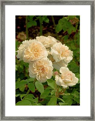 Rosa 'the Lady' Flowers Framed Print by Adrian Thomas