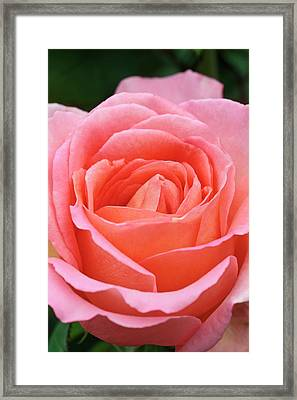 Rosa 'the Whitgift Rose' Framed Print by Geoff Kidd