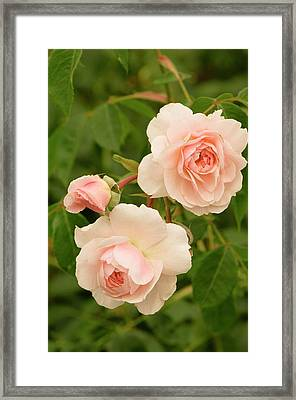 Rosa 'wisley 2008' Framed Print by Adrian Thomas