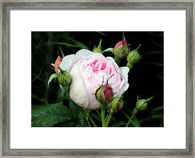 Framed Print featuring the photograph Rose 1 by Helene U Taylor