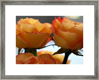 Rose 11 Framed Print