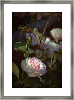 Rose 122 Framed Print by Pamela Cooper