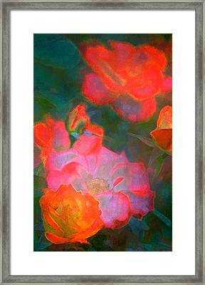 Rose 187 Framed Print by Pamela Cooper