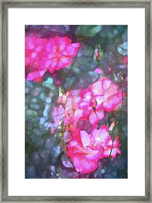 Rose 188 Framed Print by Pamela Cooper
