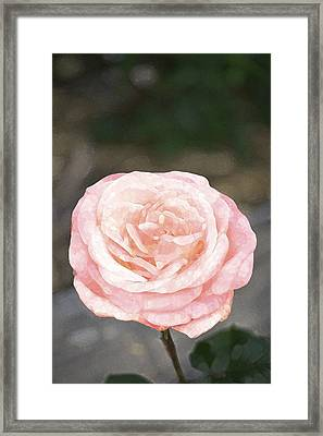 Rose 195 Framed Print by Pamela Cooper