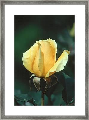 Rose 2 Framed Print