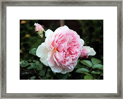 Framed Print featuring the photograph Rose 2 by Helene U Taylor