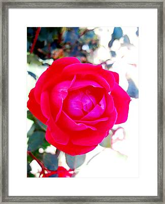 Rose 2 Framed Print by Will Boutin Photos