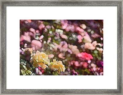 Rose 209 Framed Print by Pamela Cooper