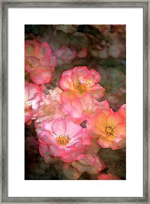 Rose 212 Framed Print by Pamela Cooper