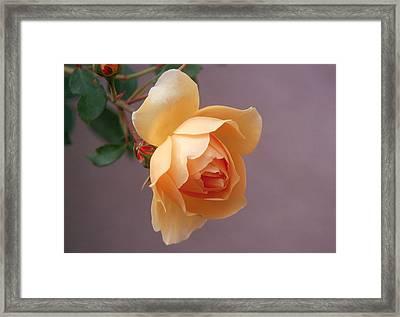 Rose 4 Framed Print