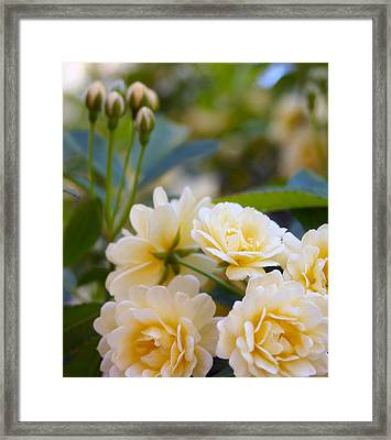 Rose 4 Framed Print
