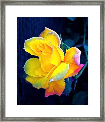 Rose 4 Framed Print by Pamela Cooper