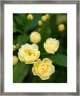 Rose 5 Framed Print