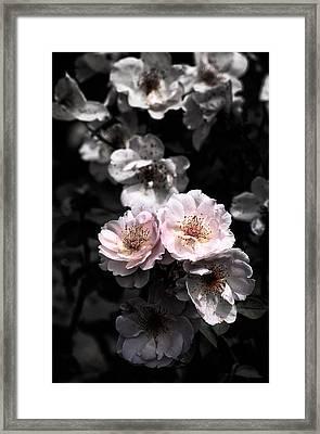 Rose 5 Framed Print