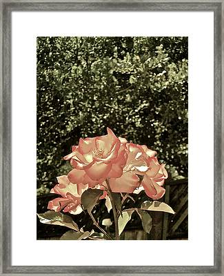 Rose 55 Framed Print by Pamela Cooper