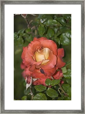 Rose 6 Framed Print