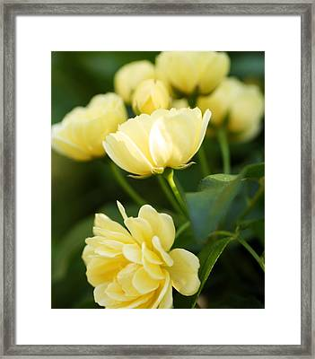 Rose 6 Framed Print