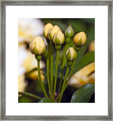 Rose 8 Framed Print