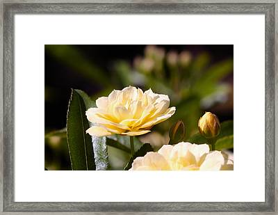 Rose 9 Framed Print