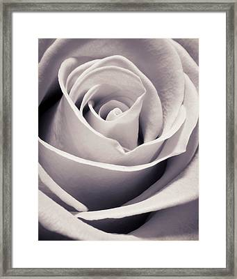 Rose Framed Print by Adam Romanowicz