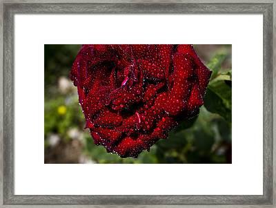 Rose And Dew Framed Print by Vishal Kumar