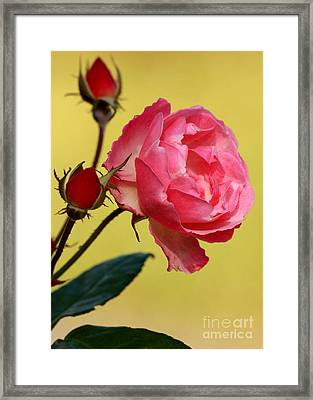 Rose And Rose Buds Framed Print by Sabrina L Ryan