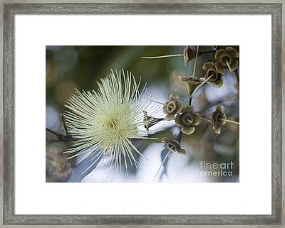 Rose Apple Blossom Framed Print