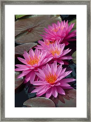 Rose Arey Framed Print by Cindy McDaniel