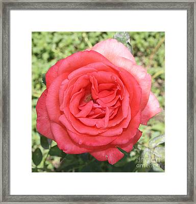 Rose At Clark Gardens Framed Print by John Telfer