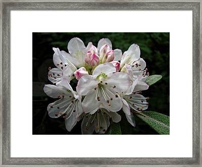Framed Print featuring the photograph Rose Bay Rhododendron by William Tanneberger